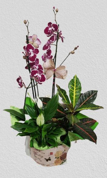 cutie carton, orhidee Phanaelopsis pestrita, croton, spatiphilium, ambalaj decorativ