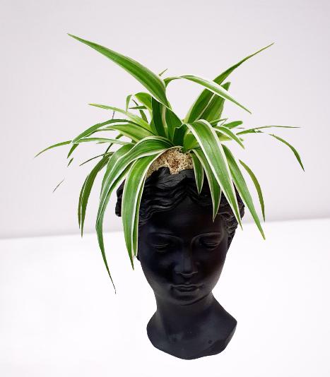 vas negru- cap Venus, ghiveci cu planta paianjen, licheni stabilizati